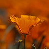 California Poppies : Antelope Valley, Lancaster, CA