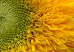 Sunflower in Bercy #4 Print Size: 13w x 19 h